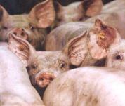 porcos01.jpg